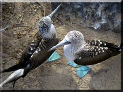 Two blue footed boobies posing on a rock.